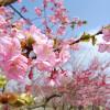冬から春を感じる梅の季節が楽しめる箕郷梅林@高崎