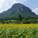雄大な風景とひまわり畑@大岩フラワーガーデン・中之条・吾妻・群馬