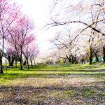 今週末が見納め!ピクニックにも最適な赤城の千本桜♪